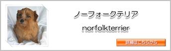 サイド ノーフォークテリア